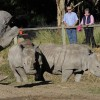 Rhinoceros at Western Plains zoo