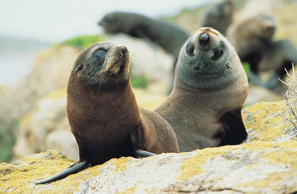 New Zealand Fur Seals - South Neptune Island