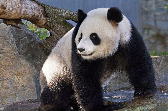Pandas at Adelaide Zoo