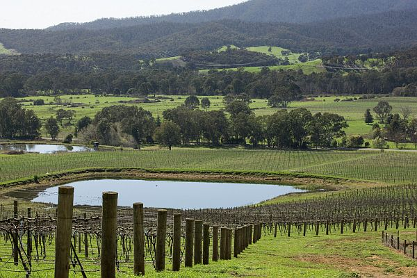 Vineyard - King Valley
