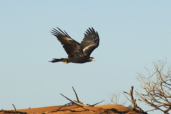 Wedge-tailed eagle (Aquila audax)