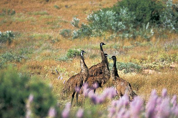 Emus in the Cape Range National Park